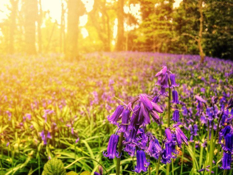 Natural Blues... Bluebells Bluebell Wood Bluebell Woods Saltwells Local Nature Reserve Purple Nature Flower Sunlight