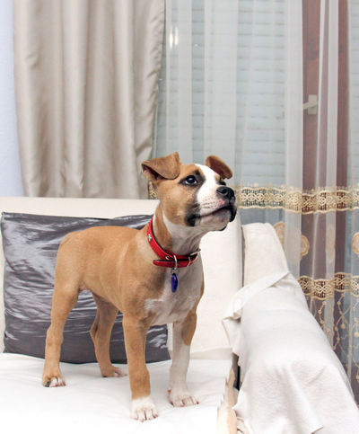 staffy Amstaff Baby Home Day Dog Domestic Animals Interior Design Mammal One Animal Pets Puppy Staffy