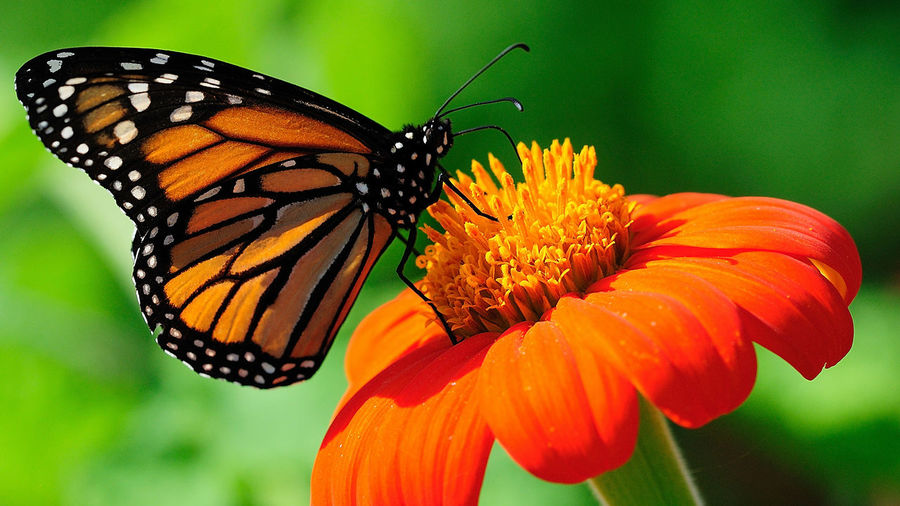 butter fly is sitting on flower to drink nector. Butterfly - Insect