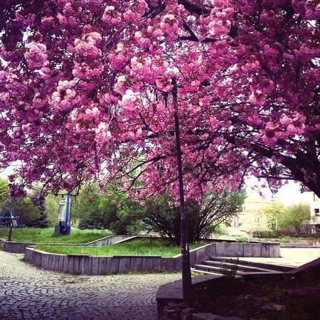 Украина♥ ужгород сакура красиво Закарпатье деревья Sakura