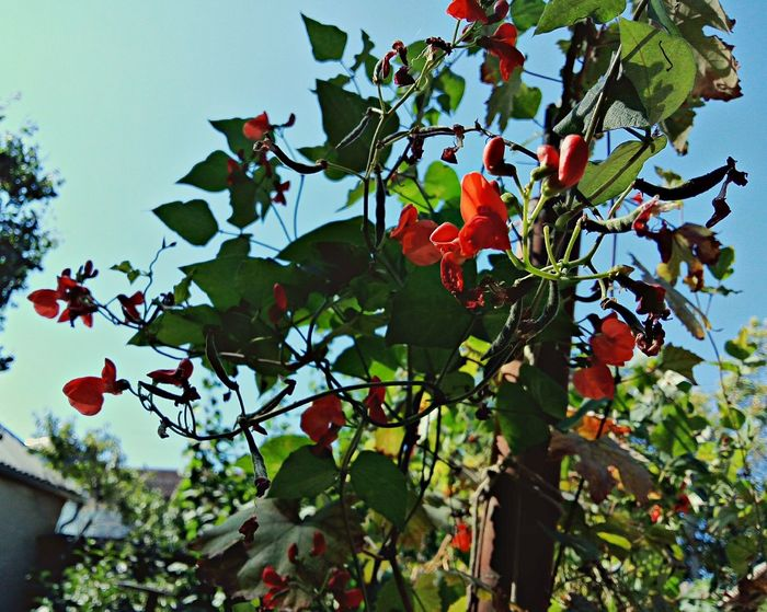 Bean Flower Nature Green Color Leaves Nature Beauty In Nature Botany Bean Mobilephotography LeEco LeTv X600 Letv