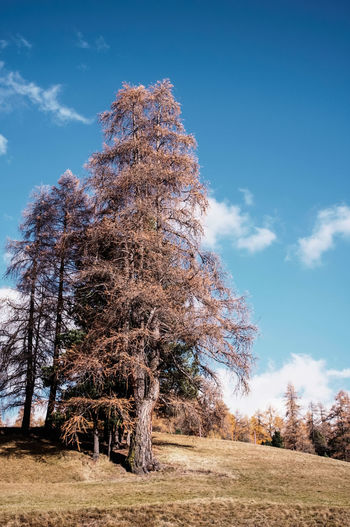 autumnal larch trees under a blue sky Larches Trees Autumn Beauty In Nature Day Forest Growth Landscape Larch Tree Low Angle View Nature No People Non-urban Scene Outdoors Pine Tree Scenics Sky Tranquil Scene Tranquility Tree Wilderness Area