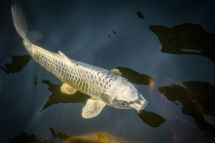 Fancy carp swimming in a pond. Fancy Carp Aerial View Animal Animal Themes Animal Wildlife Animals In The Wild Aquatic Organisms Black Back Ground Close Up Decoration Fish Fishfancy Carp Marine Nature No People Swimming Vertebrate Water
