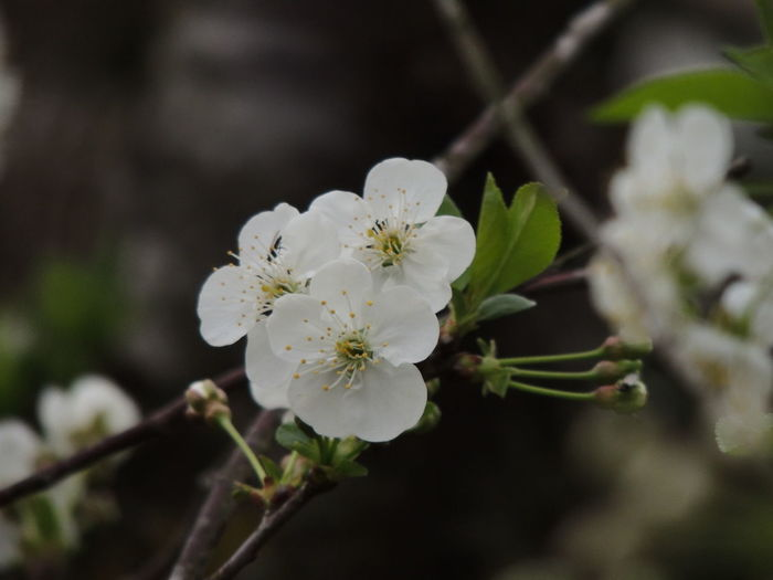 Cherry Blossoms Wild Cherry Beauty In Nature Blossom Botany Branch Close-up Day Flower Flower Head Fragility Freshness Growth Nature No People Orchard Outdoors Petal Plant Springtime Tree Twig White Color