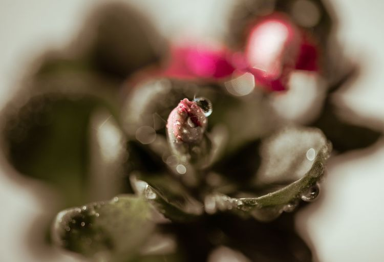 含苞待放 Close-up Plant Selective Focus Flower Beauty In Nature Fragility Freshness Growth Vulnerability  Flowering Plant No People Nature Petal Indoors  Focus On Foreground Water Animal Drop One Animal Succulent Plant