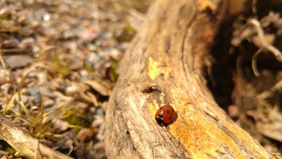 Kesä tulee!! ©️JaniVauhkonenPhoneography Insect Animals In The Wild Animal Themes Close-up Ladybug JaniVauhkonenPhoneography LG G4 The Photojournalist - 2017 EyeEm Awards The Great Outdoors - 2017 EyeEm Awards