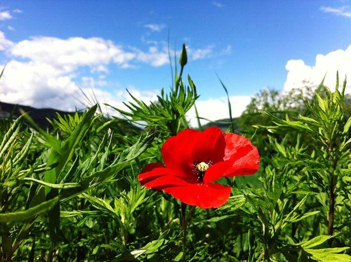 Colors Blue Sky Green Red Poppy Colori Della Primavera Cielo Azzurro Papavero Rosso Verde Azzurro Landscape Paesaggio