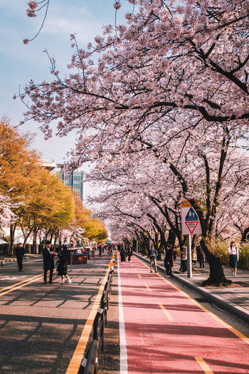 View of cherry blossom trees in city