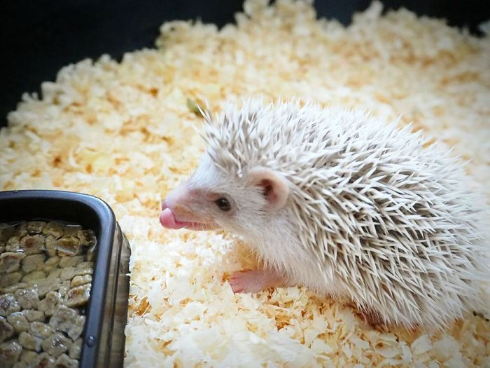 Hedgehog on wood shavings