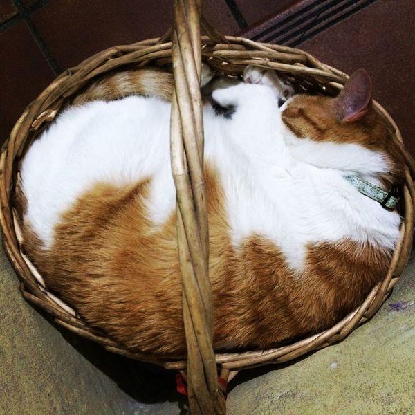 Gato Cat Siesta SiestaTime Sun Sol Cesta