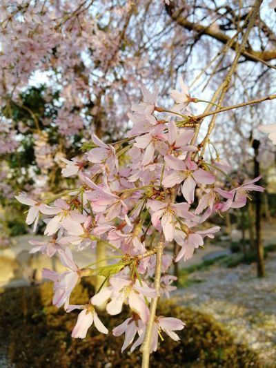 このタイプの桜は初めて見たな〜 桜 桜🌸 サクラ Sakura EyeEm Best Shots EyeEm Gallery Huawei Honor9 EyeEm Selects EyeEm Flowers Collection EyeEm Flower Flower Tree Flower Head Branch Springtime Pink Color Blossom Autumn Close-up Sky