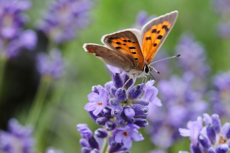 Großer Feuerfalter Flower Spread Wings Perching Butterfly - Insect Flower Head Insect Purple Close-up Plant Lantana Lantana Camara Lavender Inflorescence Colored Lilac Honey Bee Purple Color Bee Butterfly Pollination Lavender Colored Symbiotic Relationship Thistle Animal Wing Bumblebee