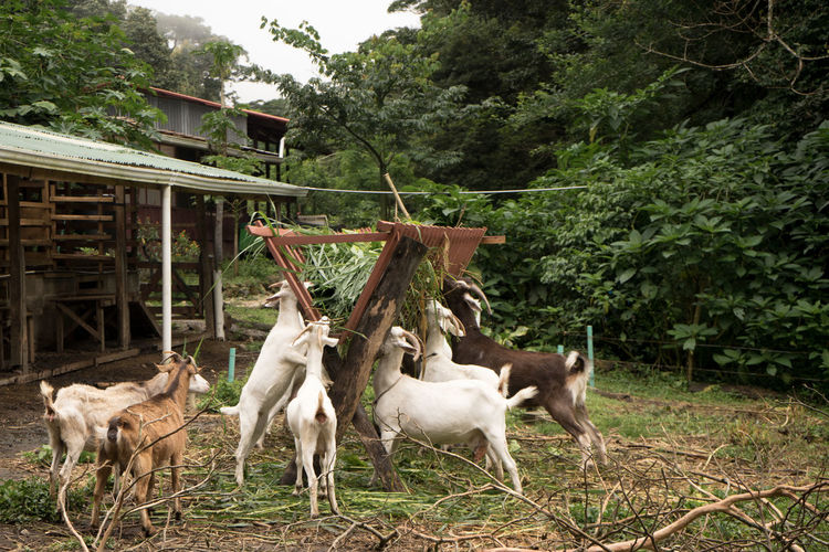 Costa Rica Farm Sustainable Living Animal Themes Domestic Animals Livestock Nature No People Outdoors Sustainable Resources