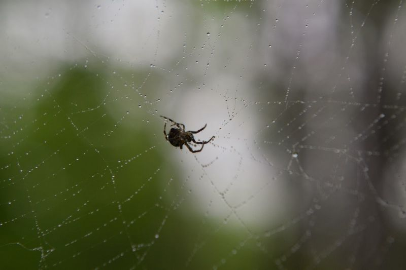 Spider On Web Spider Web And Droplets Animal Themes Animal Invertebrate Insect One Animal Spider Web Animal Wildlife Animals In The Wild Spider Close-up Fragility Focus On Foreground No People Arachnid Nature Day Outdoors Zoology Survival
