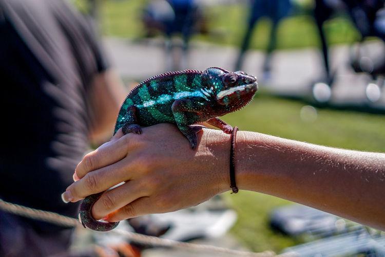 Close-Up Of Hand Holding Chameleon