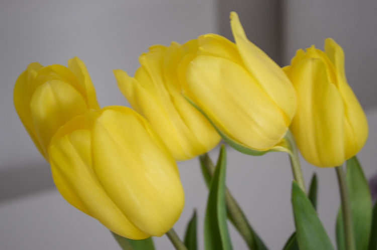 Yellow Tulips Flowers Freshness Plants And Flowers Tulips Tulip Tulips🌷 Decoration Indoors  Interior Decoration Flower Still Life Home Interior Fresh Homedecor Decorative Decorations Selective Focus Yellow Izmir Onthetable White Background Close-up Focus On Foreground