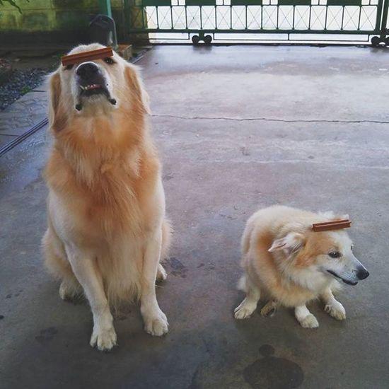 ใจเย็นๆ ไม่ต้องเกร็งกันขนาดนั้นก็ได้ครับน้องๆ 5555 Calm down, relax boys. Dog Instadog Pet Pet13 Goldenretriever Dogtraining