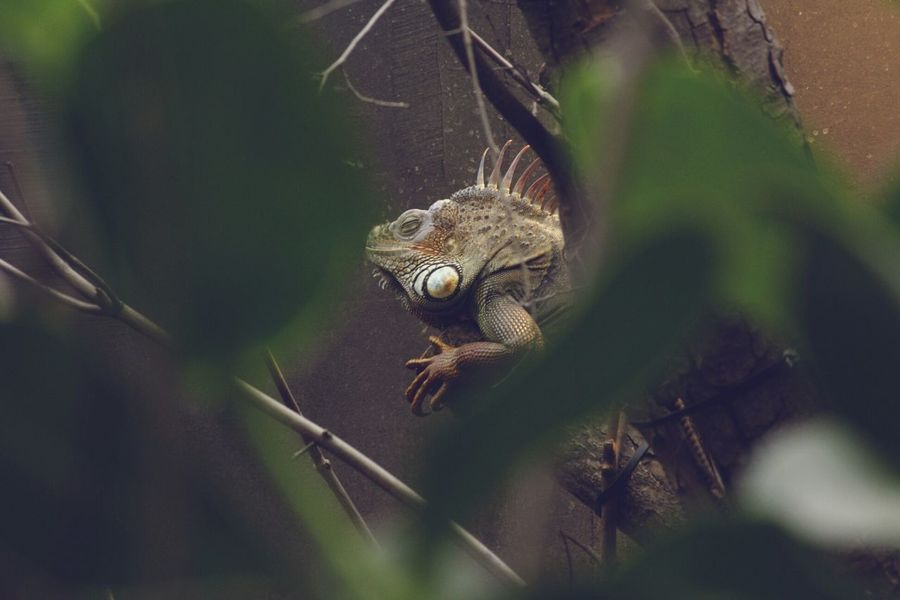 Parczoologique Zoodevincennes Iguane Reptile Enjoying The Sun Photography Zoo Animals  Zoo Escaping Leaf 🍂