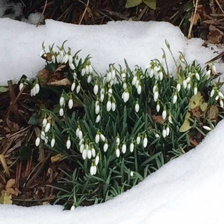 Showcase March Yeah Springtime! Hotzenwald Blackforest Schneeglöckchen End Of Winter Flowers White Album Nature Photography EyeEm Nature Lover Spring Flowers Things I Like Snowdrop