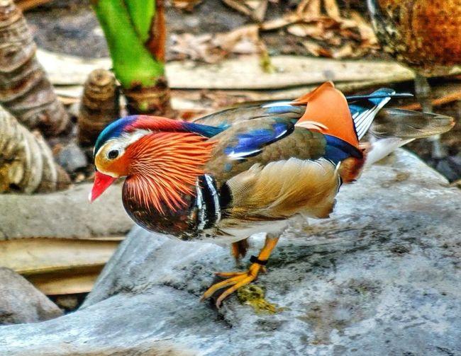 Mandarin Duck Birds Streamzoofamily Myfamilyhunt Nature