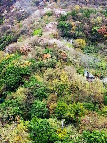 山桜 桜 箱根 強羅