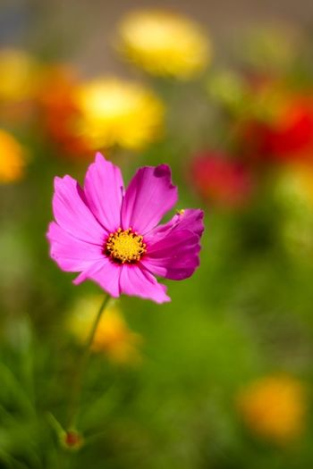 Beauty In Nature Blooming Close-up Cosmos Flower Day Flower Flower Head Focus On Foreground Fragility Freshness Nature No People Outdoors Petal Pink Color Plant Pollen Zinnia