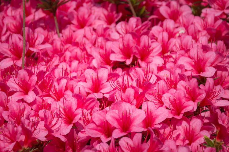 Close-up of a carpet of pink Rhododendron indicum (azalea) flowers in full bloom Flower Flowering Plant Beauty In Nature Freshness Fragility Pink Color Petal Plant Vulnerability  Close-up Flower Head Inflorescence Full Frame Growth Nature No People Backgrounds Day Outdoors Blossom Springtime Flowerbed Bunch Of Flowers Rhododendron Indicum