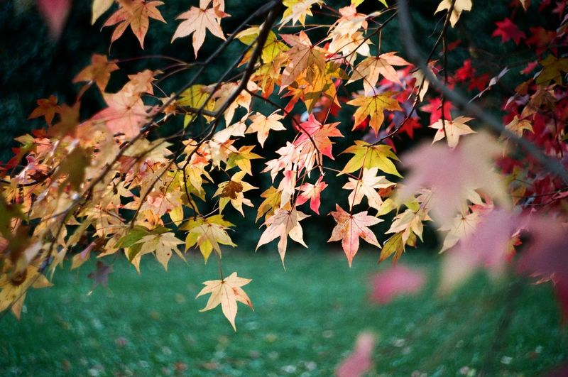 Close-Up Of Maple Leaves On Tree In Autumn
