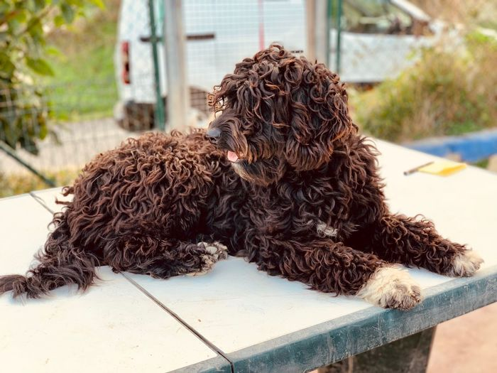 Portugiesischer Wasserhund in Lagos, Portugal Water Dogs Water Dog Mammal Animal Domestic Canine One Animal Dog Domestic Animals