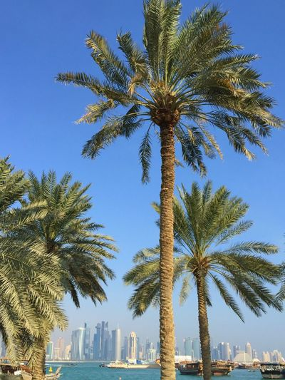 The Week On Eyem The Week Of Eyeem Sky Corniche Qatar Date Palm Tree Dates Palm Trees Palm Leaf Qatar Days