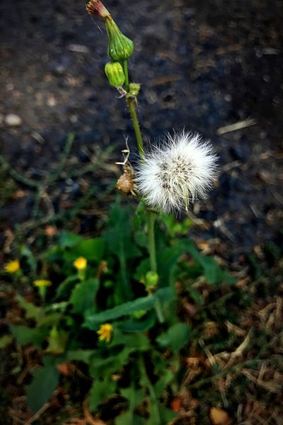 Nature Growth Flower Plant Fragility Dandelion Focus On Foreground Beauty In Nature Outdoors Day Freshness No People Field Flower Head Close-up