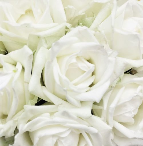 White Roses Backgrounds Beauty In Nature Close-up Detail Extreme Close-up Flower Flower Head Fragility Freshness Full Frame Growth Indoors  IPS2016White Natural Pattern Nature No People Petal Rose - Flower Softness White White Color