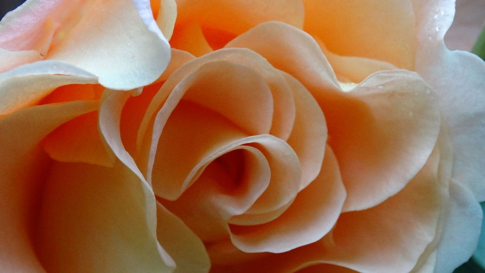 Full Frame Close-up No People Day Rose Flower Flower Rose🌹 No Filter No Filters Or Effects No Filter, No Edit, Just Photography Beauty In Nature EyeEmNewHere Freshness Of Flower Nature Tranquility Structure Orange Pastel Colours Confusion Details Focus Filigran Flowers Blossom Eyeemmarket