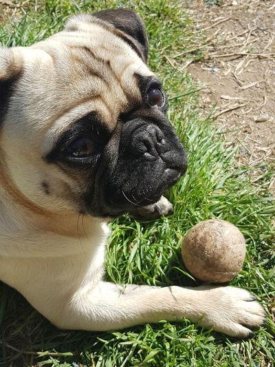 playtime Pug