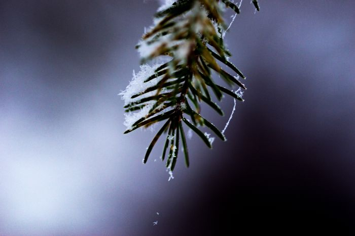 Spruse Sweden Nature Weather Beauty In Nature Drop Fragility Focus On Foreground Cold Temperature Close-up Growth No People Wet Outdoors Day Winter Freshness