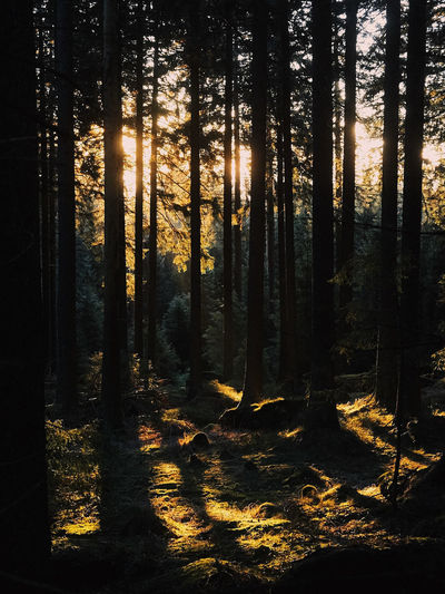 Beauty In Nature Coniferous Tree Forest Growth Land Landscape Nature No People Non-urban Scene Outdoors Plant Scenics - Nature Shadow Silhouette Sunlight Tranquil Scene Tranquility Tree Tree Trunk Trunk WoodLand