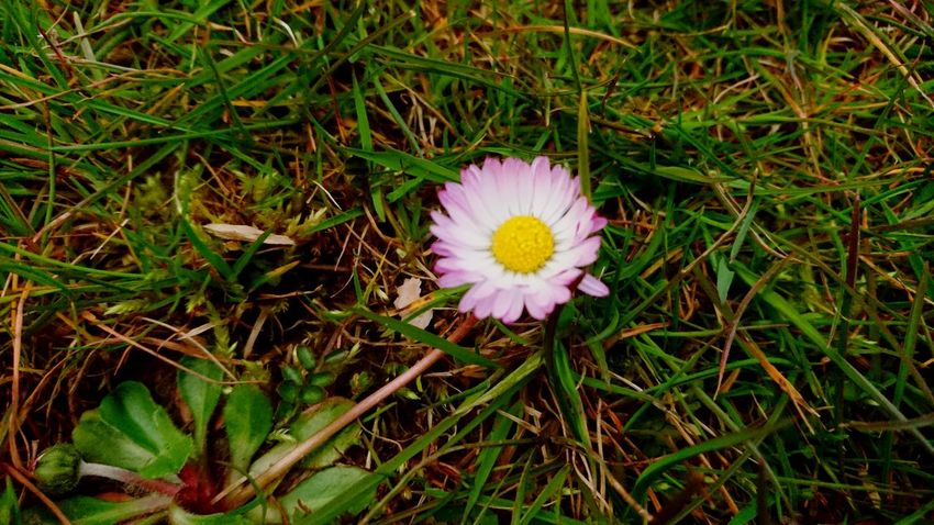 Flower Nature High Angle View Growth Flower Head Field Petal Grass Fragility No People Outdoors Beauty In Nature Day Plant Freshness Blooming Close-up Daisy Pink Daisy Nature In Bloom