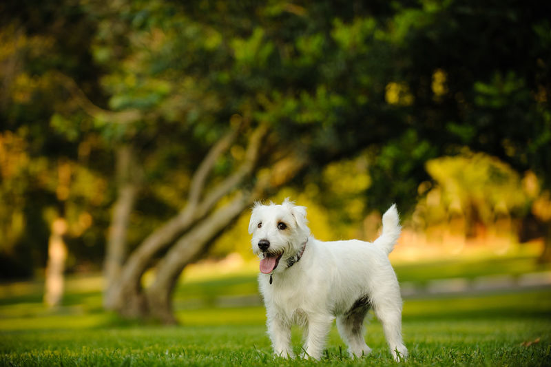Jack Russell Terrier dog outdoor portrait Jack Russell Jack Russell Terrier Russell Animal Themes Day Dog Domestic Animals Focus On Foreground Jacket Mammal Nature No People One Animal Outdoors Outside Park Pets Terrier White Wirehaired