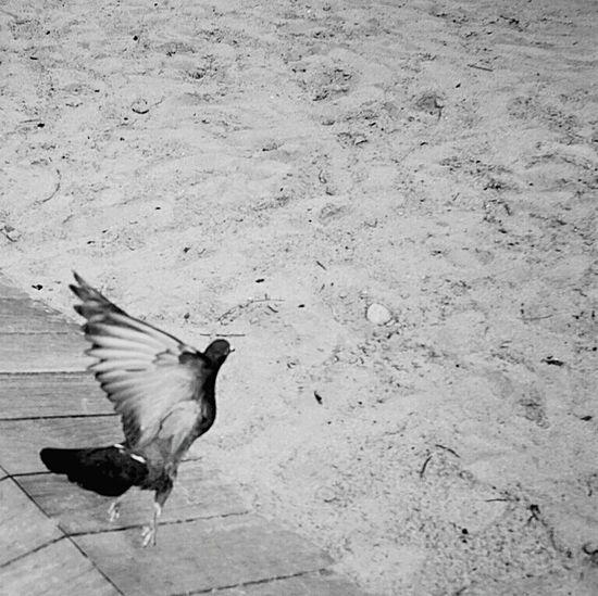 비둘기야 날자 구구구 비둘기 Dove B&w