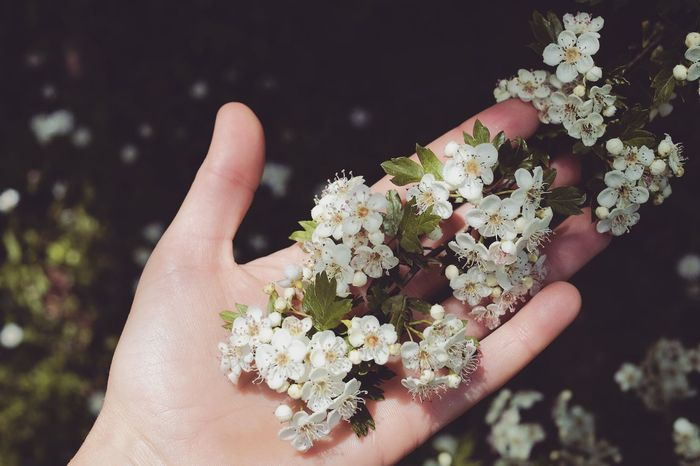 Human Body Part Human Hand One Person Holding Close-up Nature Plant Outdoors Adult One Woman Only Flower Head Flowers White Flowers Beauty In Nature Relaxing Time EyeEm Nature Lover EyeEm Best Shots EyeEm Gallery The Week On EyeEm Taking Photos Eye4photography  The World Through My Eyes Growth Hawthorn Springtime