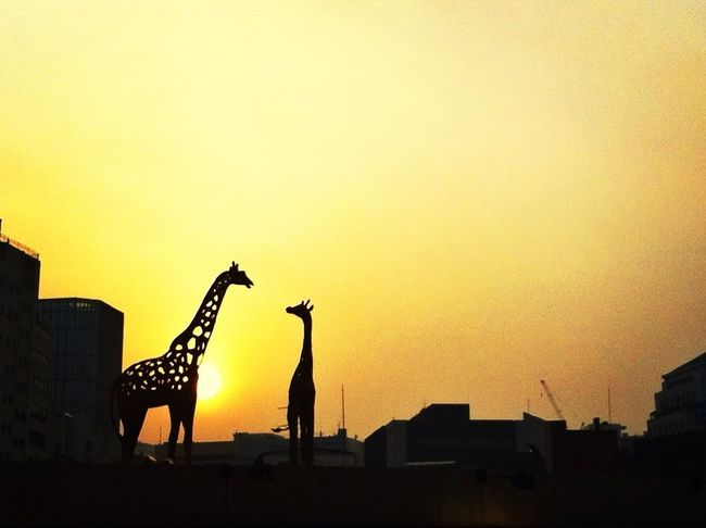 Beautiful Sunset Giraffes