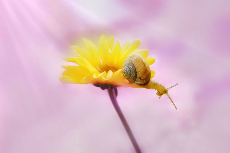 Snail🐌 Flower Yellow Close-up Fragility Petal Pink Color Macro Flower Head Nature Purple Uncultivated Beauty In Nature Freshness Plant No People Outdoors Tranquility Pastel Colored Day Multi Colored