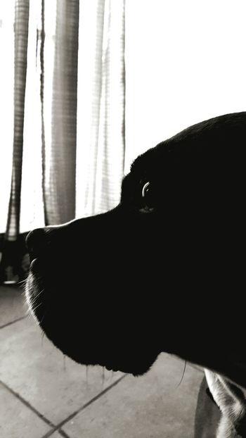 Tara is a boxer Dog Pets Boxer Profil Beside Blackandwhite Black And White
