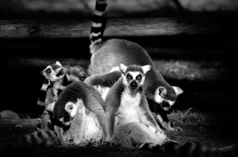 Lemurs seen through fence