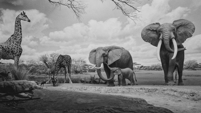 vaunting Animal Themes Panorama Blackandwhite