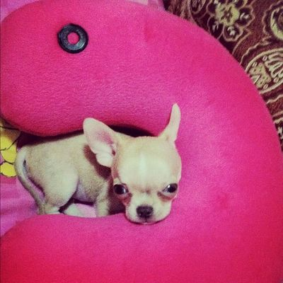 Good Morning! Chihuahua Dogoftheday Dogs Applehead teacup babyelmo random pets dogs petoftheday webstagram igfusion instabai instahub instagood instadaily dogstagram petstagrammansbestfriend