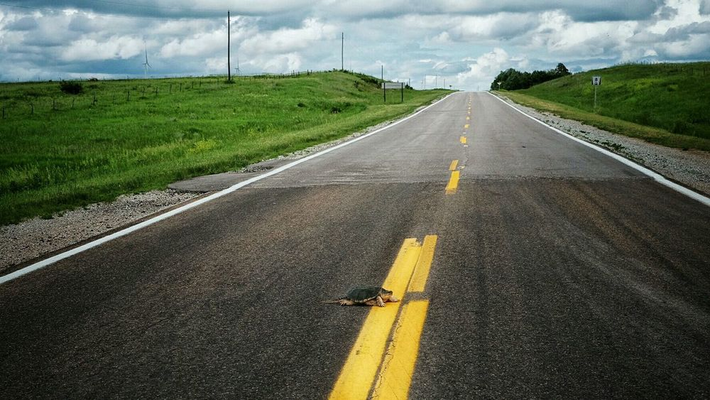 """""""Crossy Road"""" Animal Rescue Living Dangerously Turtle Speed Bump Color Photography What I Saw Snapping Turtle On The Road Dangerouslybeautiful Reptiles"""