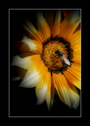 Beautiful Gazania Beauty In Nature Bee On Flower Blooming Botany Close-up Flower Flower Head Focus On Foreground Fragility Freshness Gazania Flowers Gazanias Gpmzn Growth In Bloom Leica Lens Nature Petal Plant Pollen Selective Focus Yellow Visual Creativity