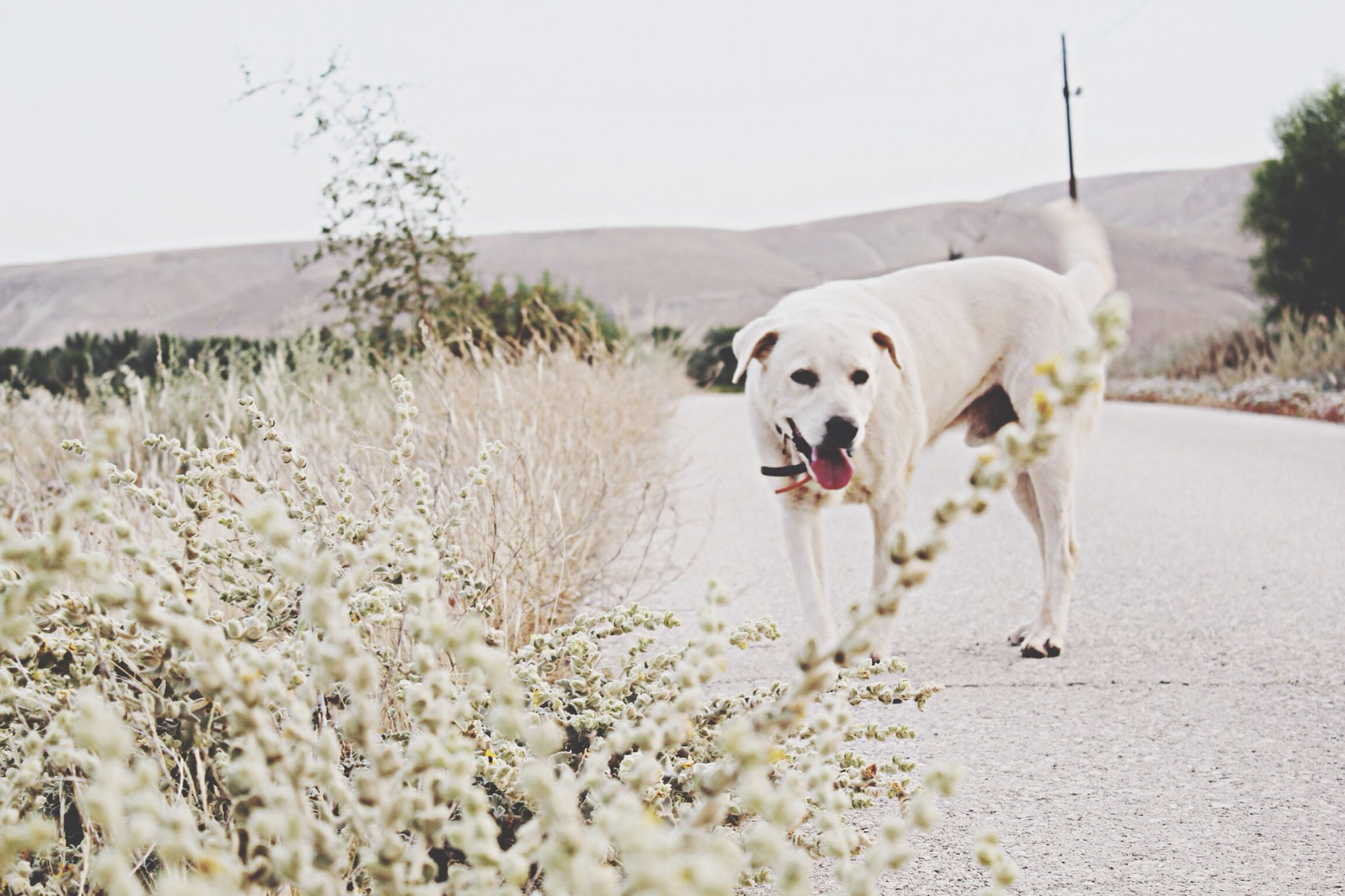 domestic animals, animal themes, mammal, dog, one animal, pets, landscape, field, clear sky, white color, grass, nature, sky, tree, day, outdoors, road, no people, rural scene, mountain