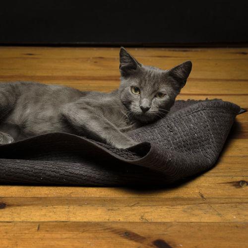 Portrait of cat resting on wooden floor